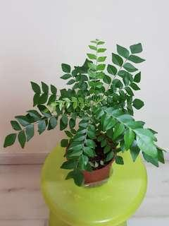 Organic curry leave plant in pot
