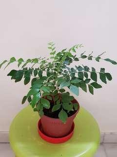 Short But leafy curry leaves plant on pot