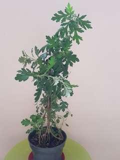 Big pot of organics  mugwort plants