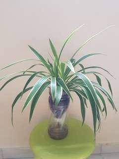 Spider plants in self watering pot. Natural air purifier