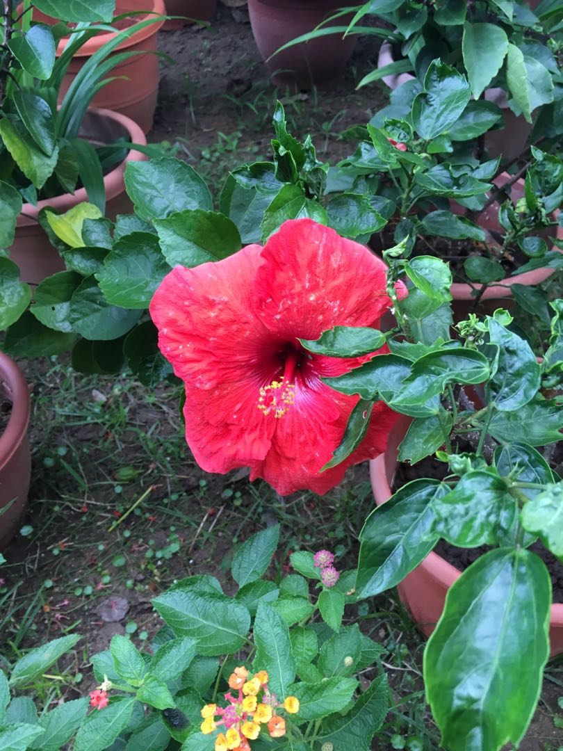Red Hibiscus Plant Sale Gardening Plants On Carousell
