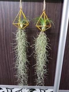 Air Plant, spanish moss