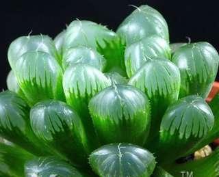 Window Leaved Plant (Haworthia cooperi)玉露