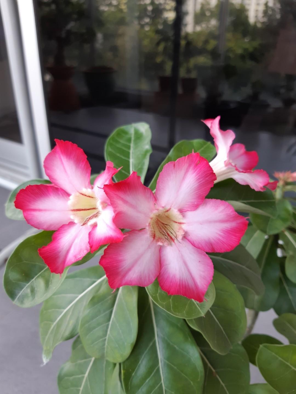 Desert rose (Adenium arabicum)