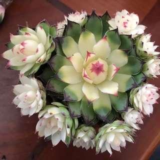 多肉 Unusual rosette succulent