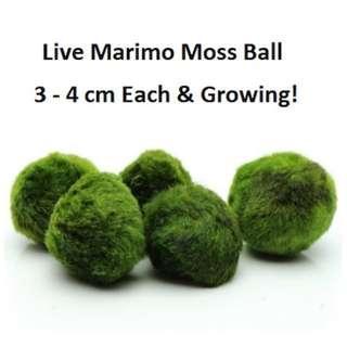 Live Marimo Moss Ball - IMPORTED FROM JAPAN Aquarium Aquatic Plant for Fish/shrimp Tank beta Shrimps!