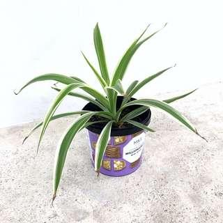 🍃 Spider Plant | Great for Indoor Air Purifying 🍃