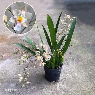 Oncidium Twinkle White | Seasonal Orchid Plant