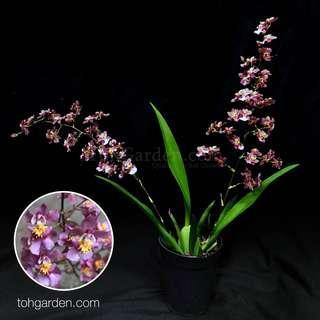 Oncidium Twinkle Wine Red 喜洋洋 | Seasonal Orchid Plant