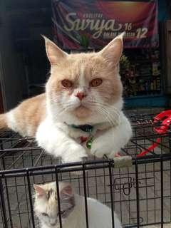 Kucing persia flatnose exo