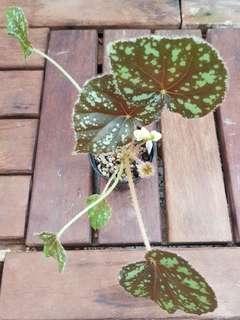Begonia nigritarium