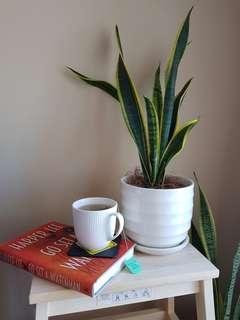 Snake Plant in White Ceramic Pot