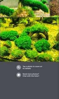 Fissidens mini Phoenix moss