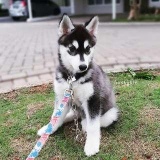 Dijual 100% Pure Breed Siberian Husky Puppy Female Kristari