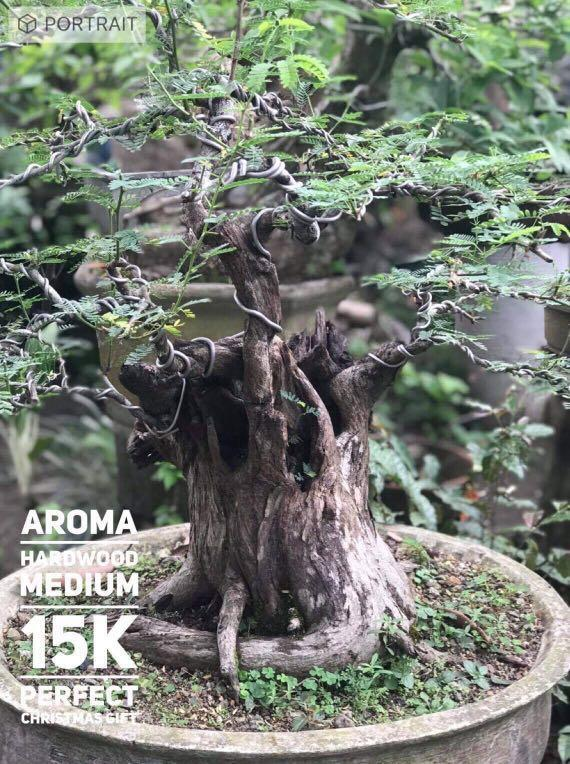 Aroma Bonsai Plant Home Furniture Furniture Fixtures Others On Carousell