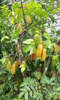 Fruit plant - Fruiting Starfruit Tree (2.4m)