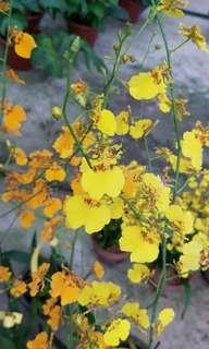 Plant - Orchid Oncidium / Dancing lady Orchid