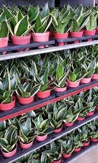 Plant - Sansevieria (10cm pot)