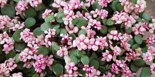 Plant - Portulacaria Variegata / Jade Plant (12cm pot)