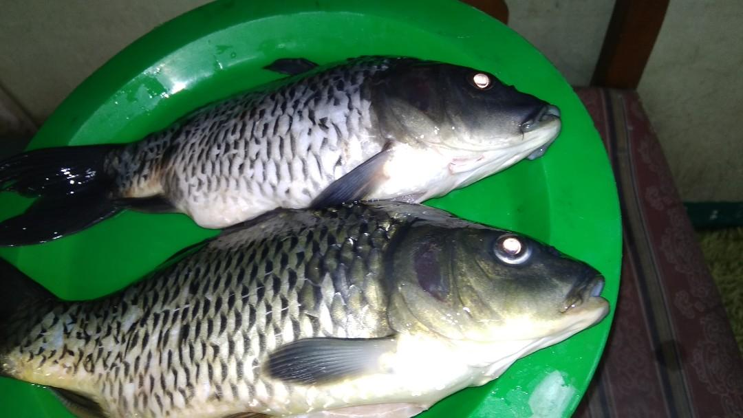 Unduh 88 Gambar Ikan Mas Di Bedah Terbaru