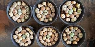 Plant - Lithops (7cm pot)