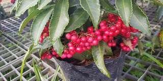 Cny Plant - Ardisia crenata / Hilo holly (17cm pot)
