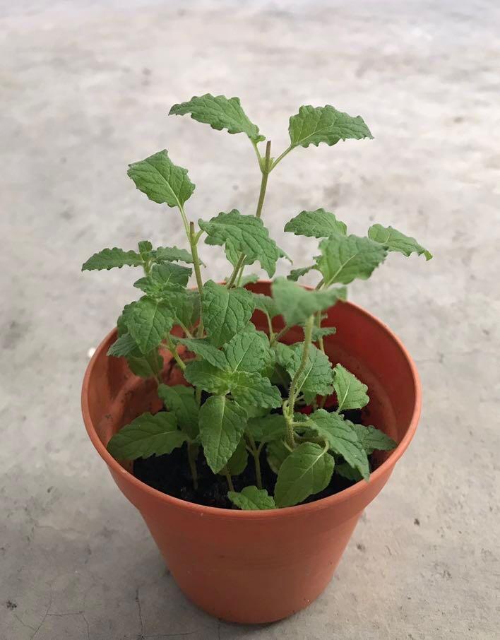 Homegrown Strawberry Mint pot