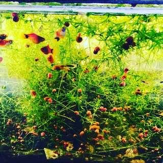 魚缸水草蘋果螺Apple snail