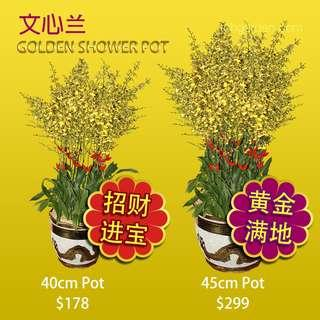 2019 CNY Lucky Oncidium Golden Shower in Dragon Pot | Chinese New Year | Yellow | Orchid Plants