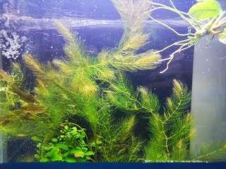 Aquatic plant - Hornwort