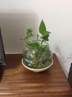 Preloved plant