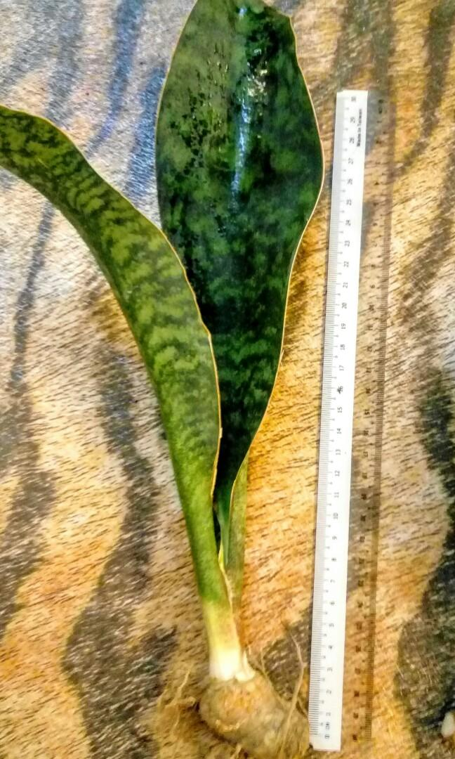 Sansevieria - Whale Fin, Gardening, Plants on Carousell