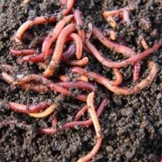 earthworms casing