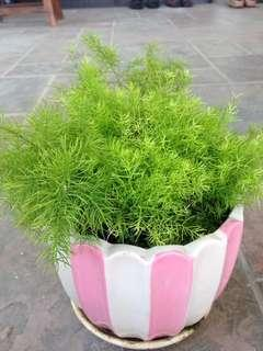 Fine fern with nice pot