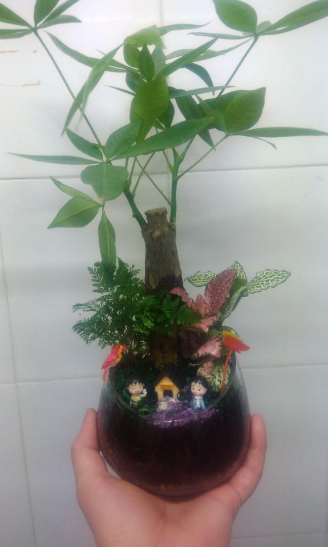 Lucky Plant Bamboo Chinese New Year Terrarium Plant Gardening