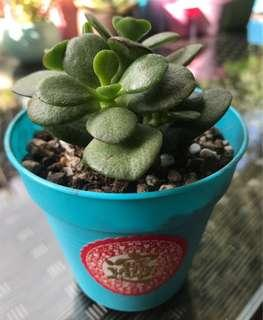 Potted Succulents for CNY $3.80-$4.80