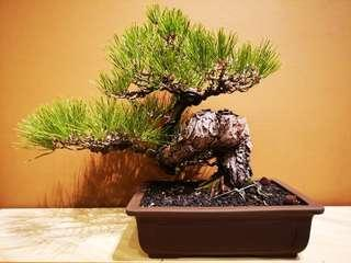 Black Pines from Japan