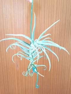 Airplant Duratti for sale!