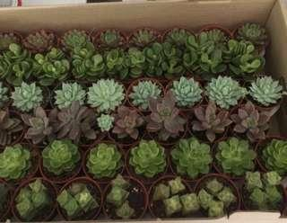 Succulents in 5.5cm pots *3 pots for $8