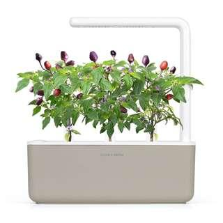 PURPLE CHILI PEPPER PLANT PODS BNIB