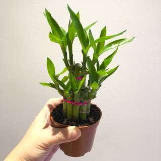 🍊 🍊 Many CNY Lucky Bamboo Dracaena sanderiana for sale