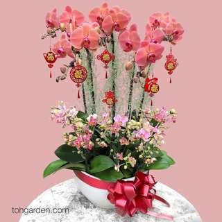 CNY 2019 Phalaenopsis Orchid Special Arrangement in Ceramic Pot