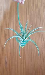 Airplant capitata silver rose for sale!