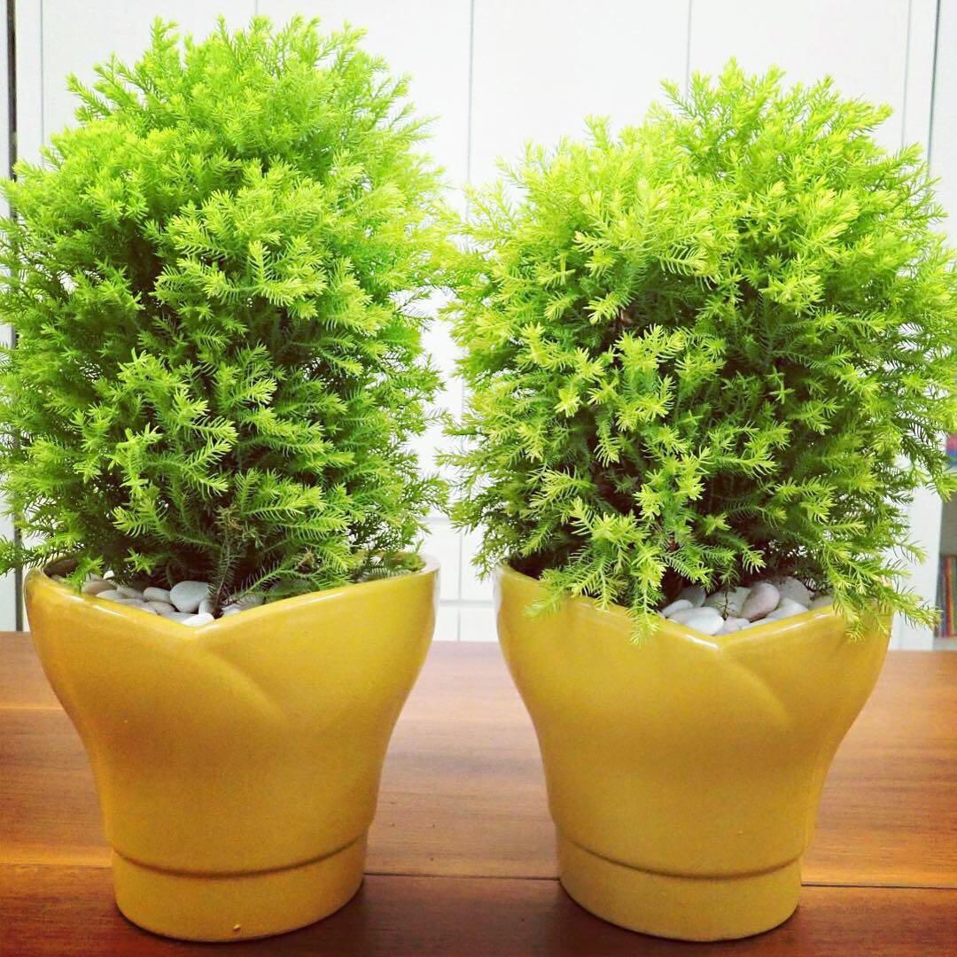 Dwarf Globe Japanese Cedar Cryptomeria Japonica Globosa Nana