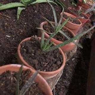 Aloe Vera in X-Small Terracotta Pot