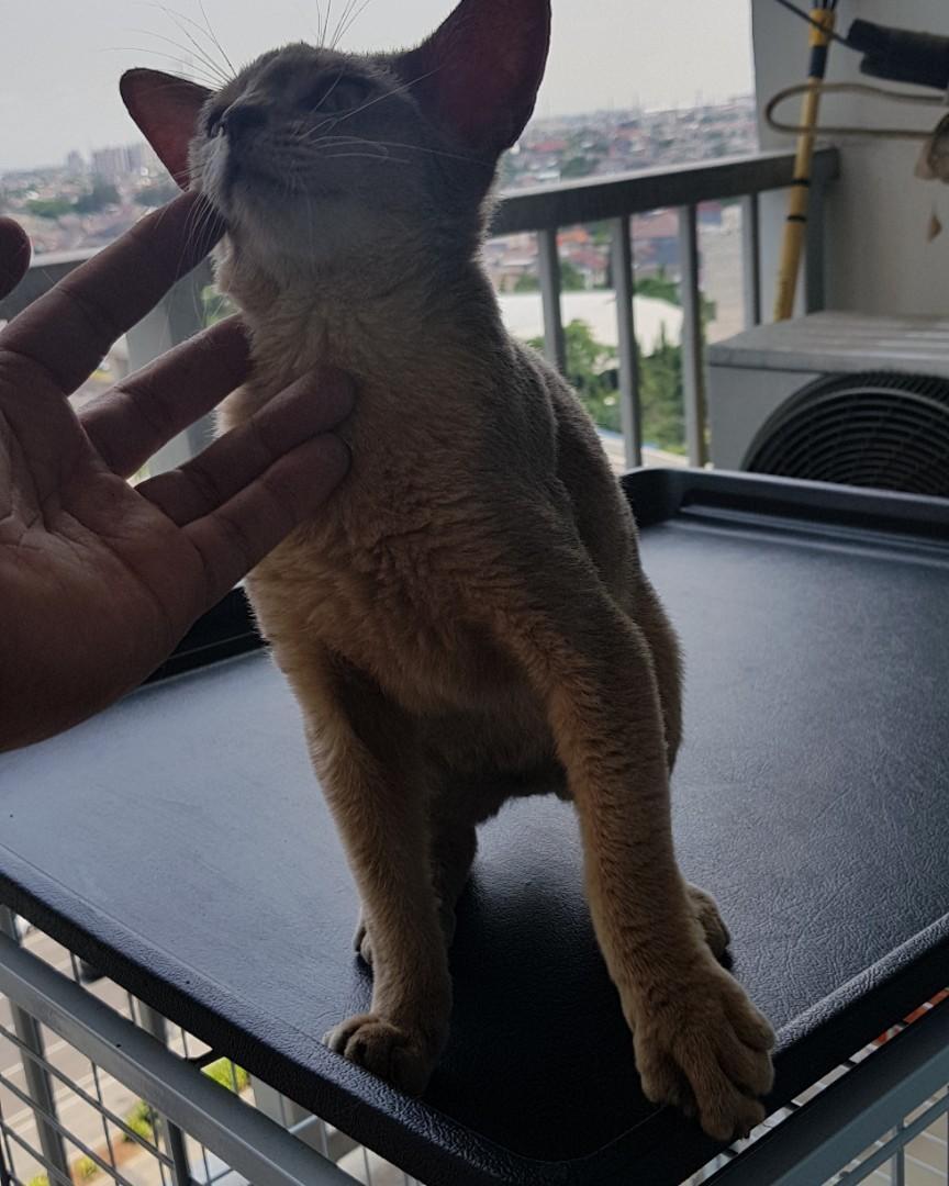 Jual Kucing Abyssinian Blue Perlengkapan Hewan Aksesoris Hewan Di Carousell