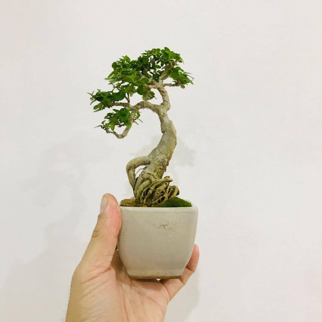 Mini Bonsai Gardening Plants On Carousell