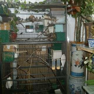 flight cage with 40 finches and adult stick insects