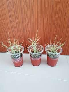 Young byblis (Easy grow plants that fight against mosquitoes)!