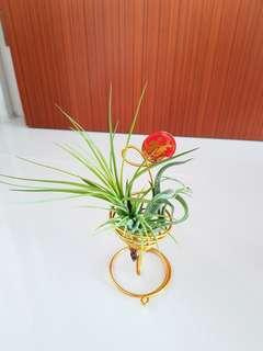 Air Plant for CNY !